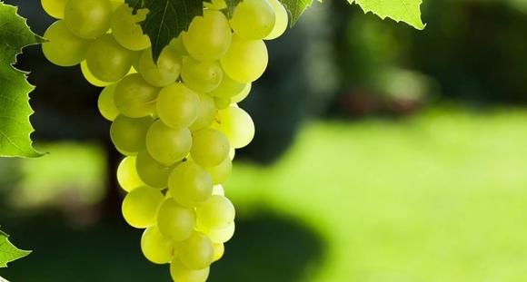 葡萄的秘密你都知道吗